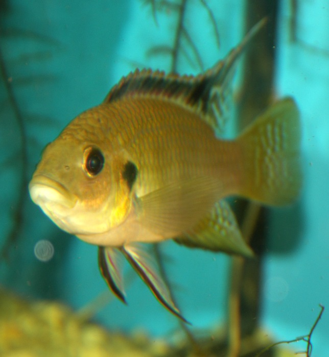 Benitochromis nigrodorsalis Benito11