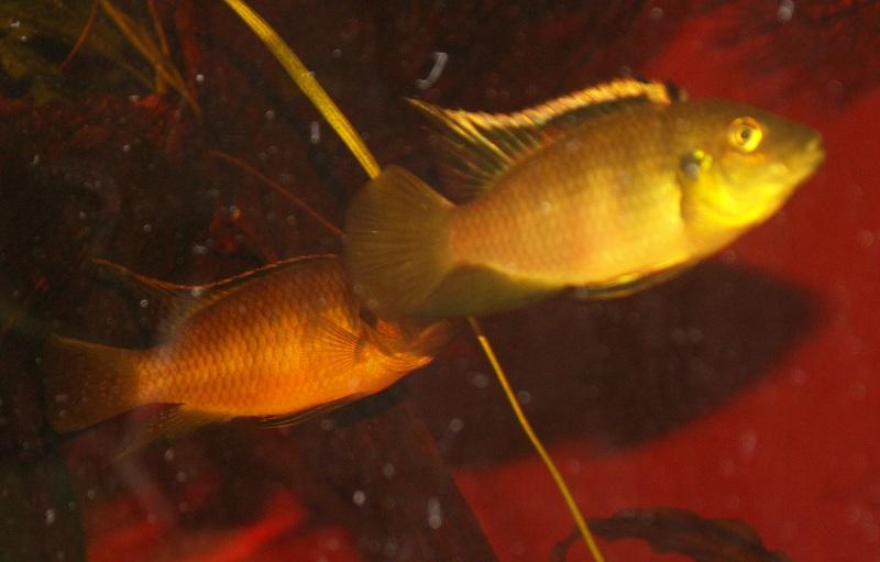Benitochromis nigrodorsalis Benito13
