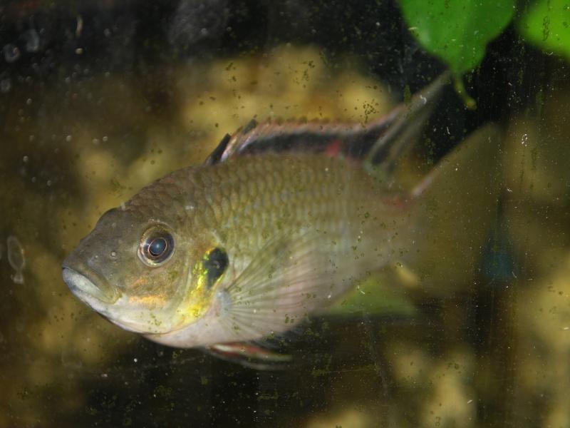 Benitochromis nigrodorsalis Pict0510