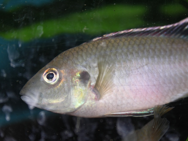 Benitochromis nigrodorsalis Pict0710