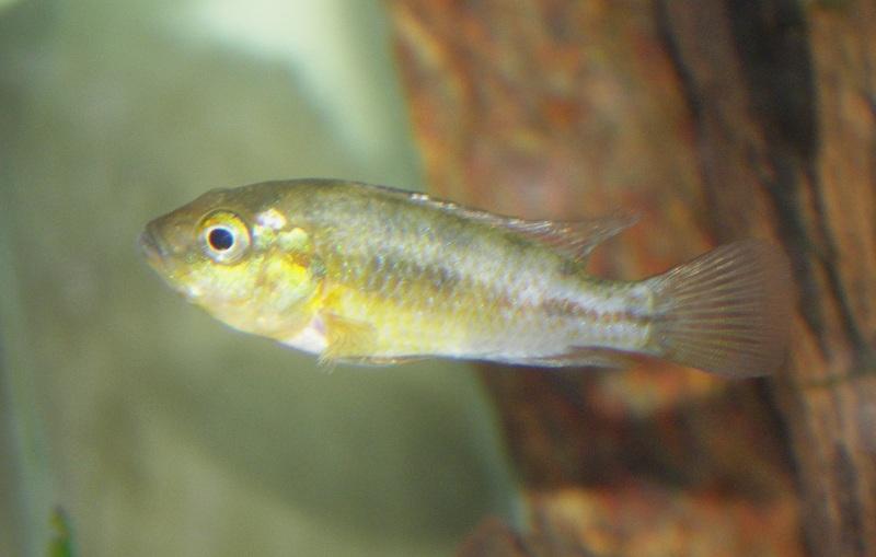 Pseudocrenilabrus nicholsi Pseudo11
