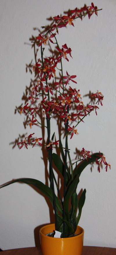 Orchidée - Cambria (mon cadeau de noel) Img_9412