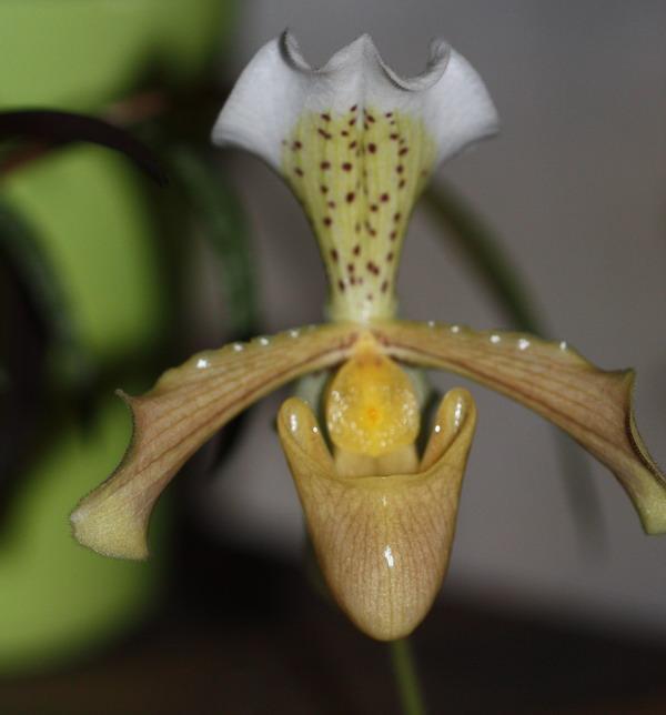 Orchidée Paphiopedilum ou sabot de venus Img_9530