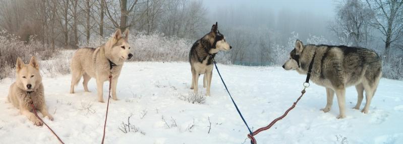 Balades dans la neige Chiens10