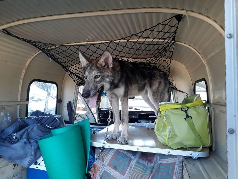 Ash le chien loup 38020811