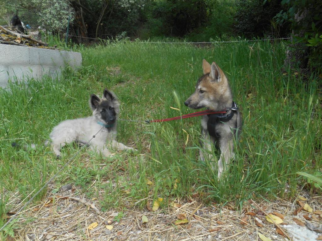 Ash le chien loup Dscn7810