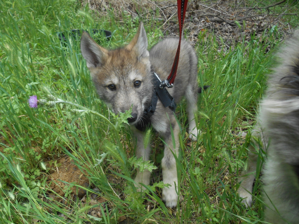Ash le chien loup Dscn7811