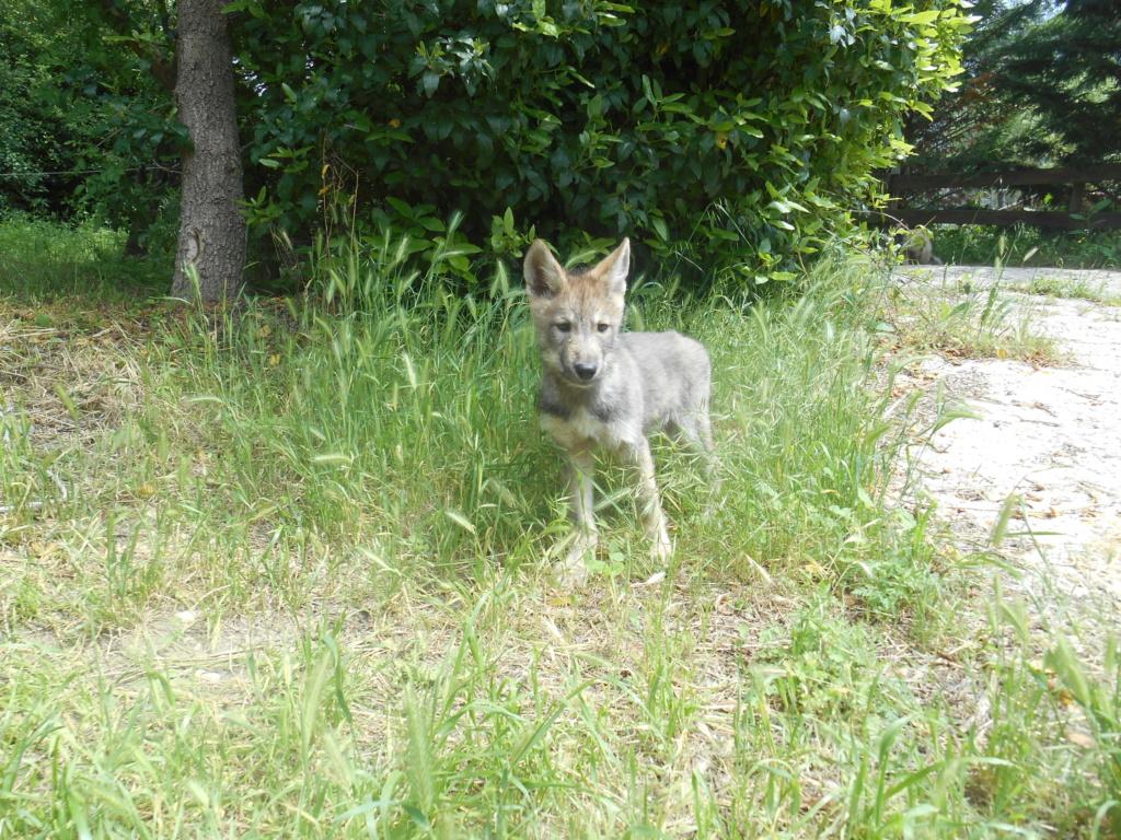 Ash le chien loup Dscn7912