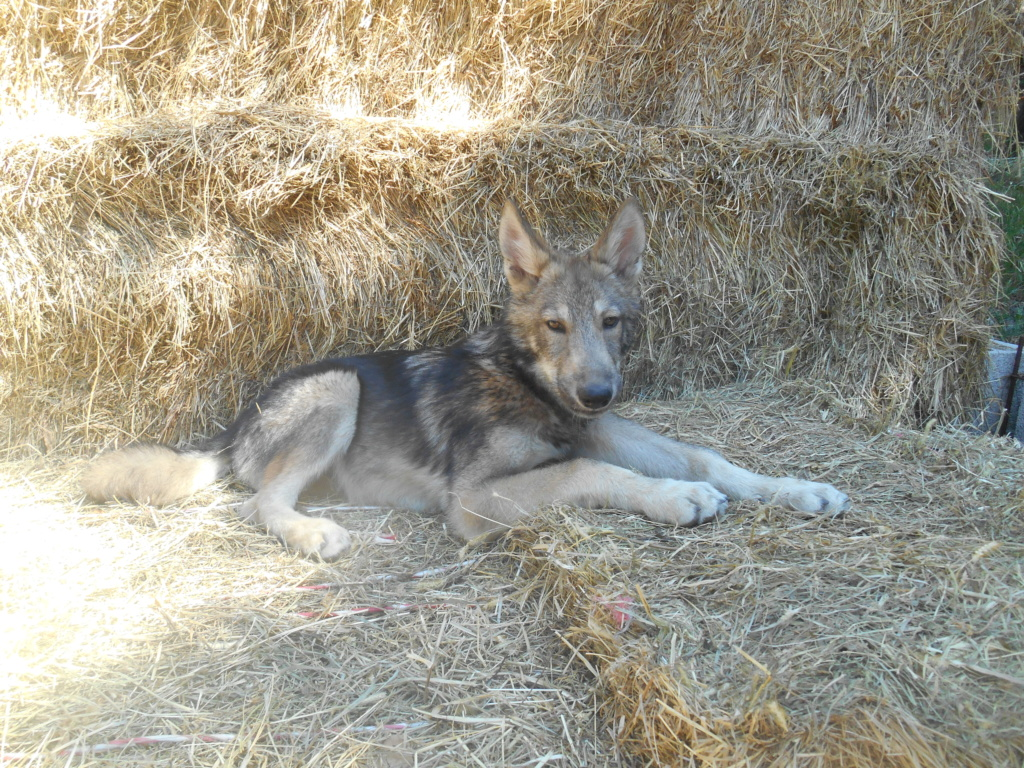 Ash le chien loup Dscn8213