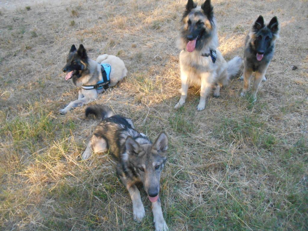 Ash le chien loup Dscn8313
