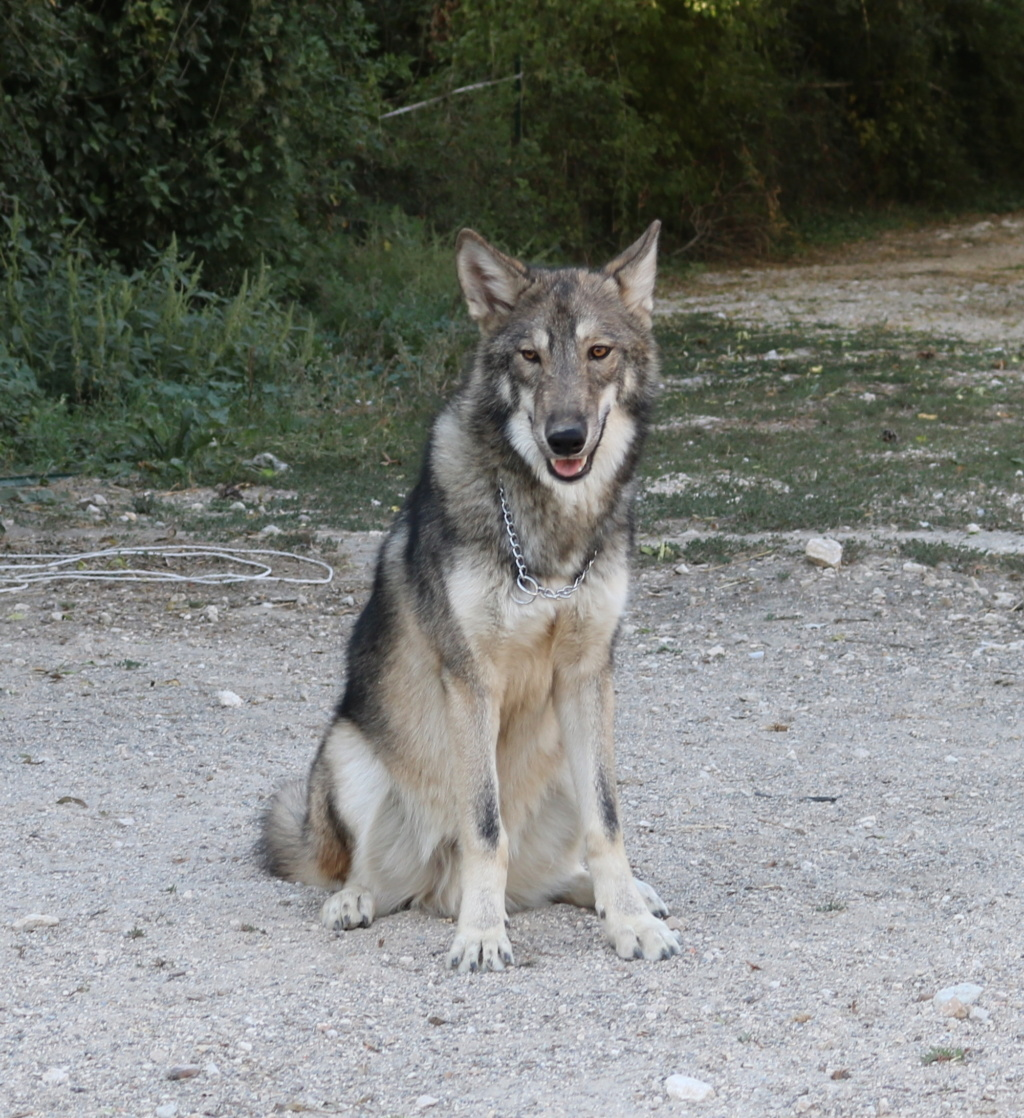 Ash le chien loup - Page 2 Img_8713