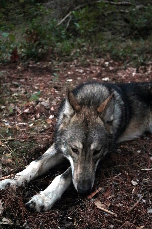 Ash le chien loup - Page 2 Img_9210