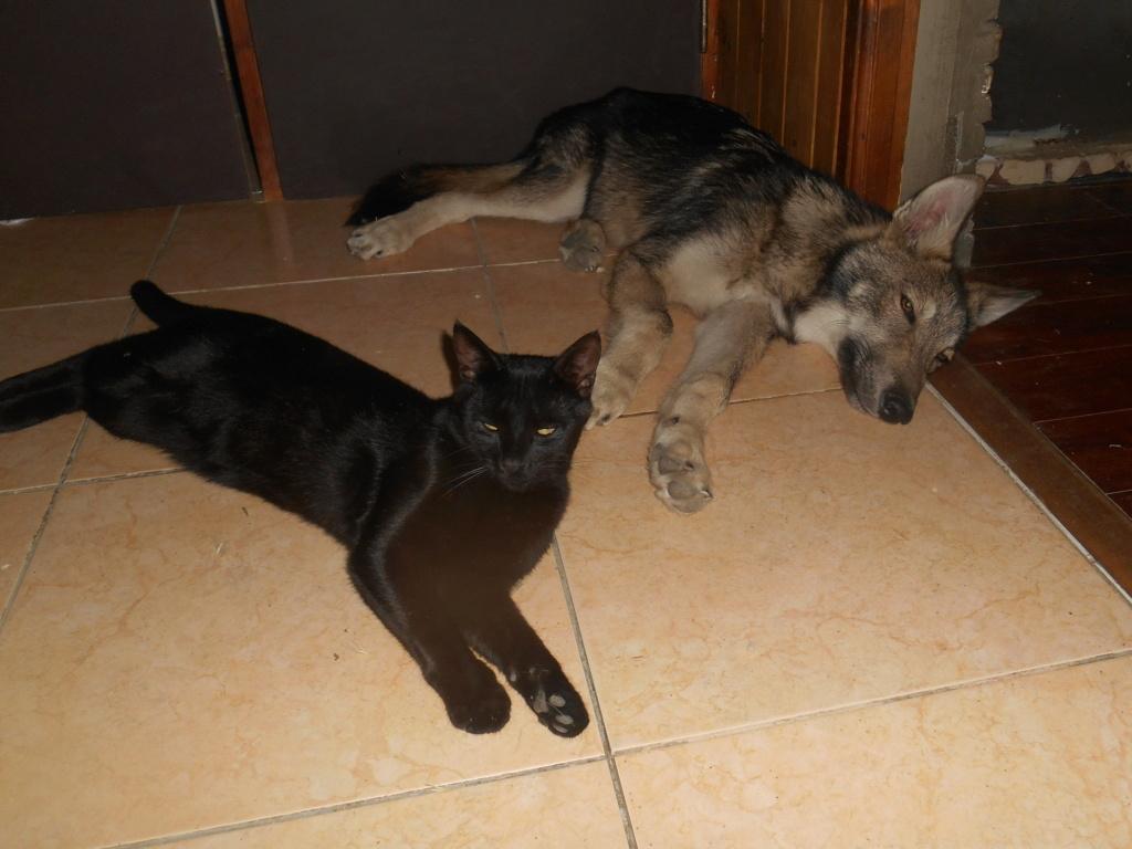 Ash le chien loup Rscn8212