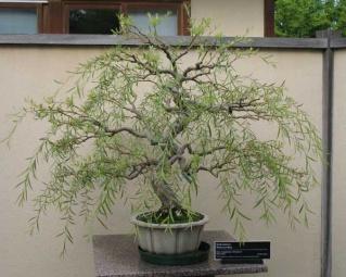 saule bonsai. Black Bedroom Furniture Sets. Home Design Ideas
