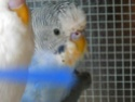 Sex de mes perruches!...aide Rscn7610