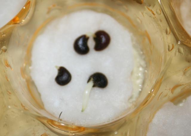 mini serre boite à bonbons-germer des graines dans le coton Germin11