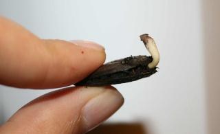 Qui veut cultiver  paw paw / Asimina triloba  (asiminier)? - Page 2 Graine15