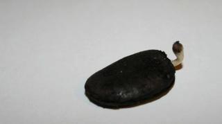 Qui veut cultiver  paw paw / Asimina triloba  (asiminier)? - Page 2 Paw_pa10