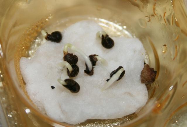 mini serre boite à bonbons-germer des graines dans le coton Plantu10
