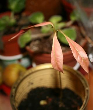 La culture du litchi/lichies/litchee, la germination et l'entretien du litchi Plantu12