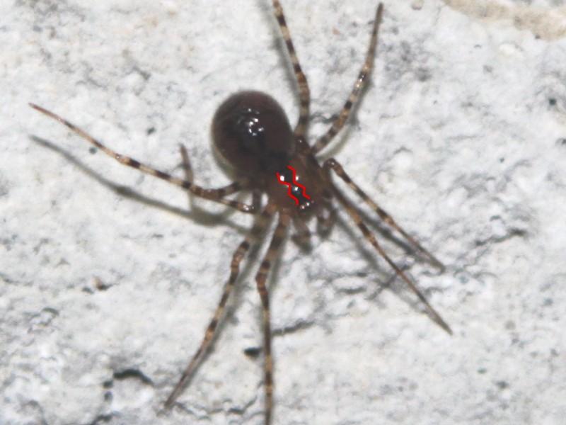 Nesticus eremita (nouvelle venue en Bretagne) Nestic10