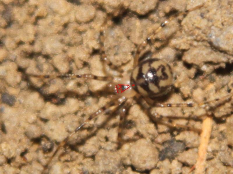 Nesticus eremita (nouvelle venue en Bretagne) Nestic12