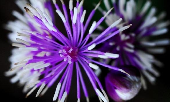 Pigamon du Japon ( Thalictrum) Thalic10