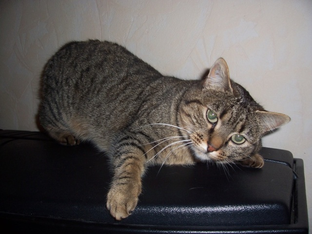 Perdue chatte européenne tigrée à Usson 100_2510