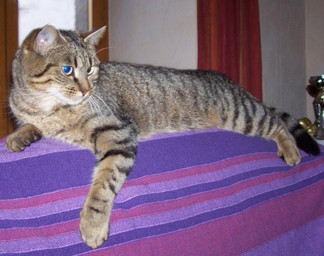 Perdue chatte européenne tigrée à Usson Chips10
