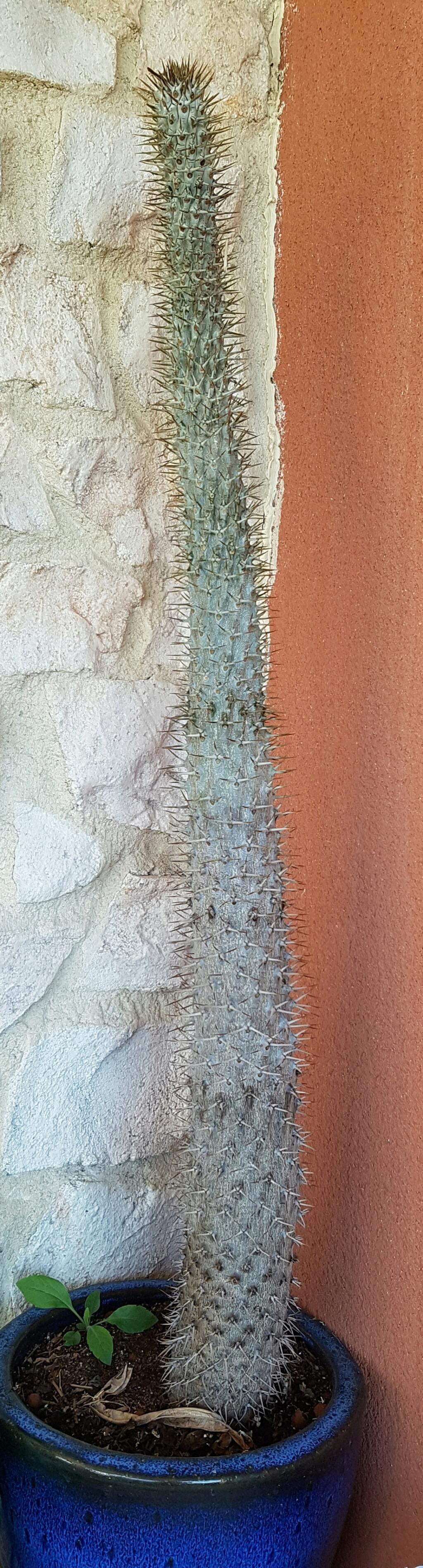 Pachypodium lamerei - Page 4 20210710