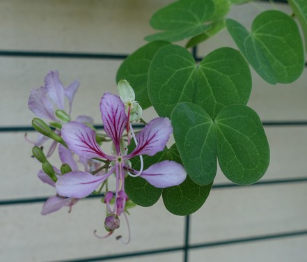 Bauhinia yunnanensis Bauhin10