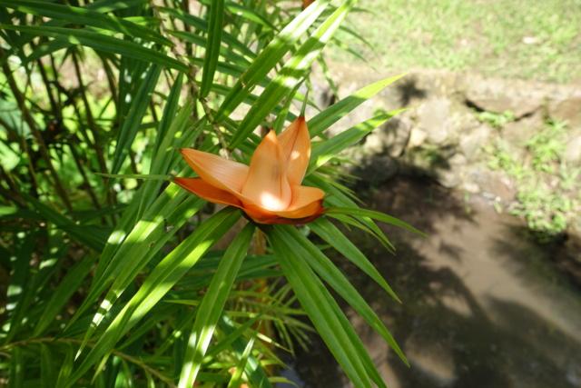 Freycinetia cumingiana Dsc04112