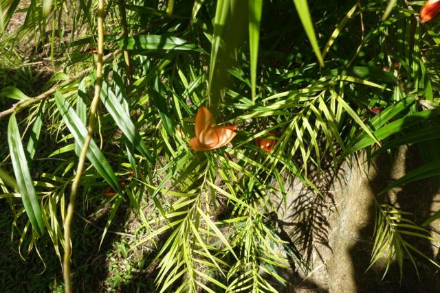 Freycinetia cumingiana Dsc04113
