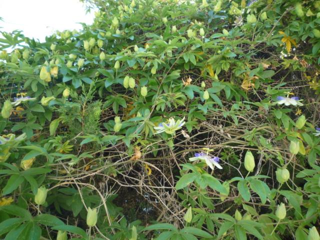 Passiflora caerulea - Page 6 P1110211