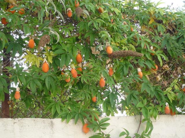 Passiflora caerulea - Page 6 P1110610