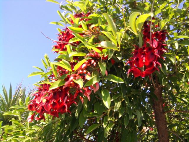 Erythrina crista-galli - Page 15 Photo010