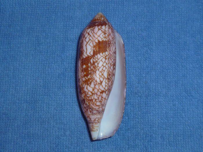 Conus (Darioconus) auratinus da Motta, 1982 Aurati12