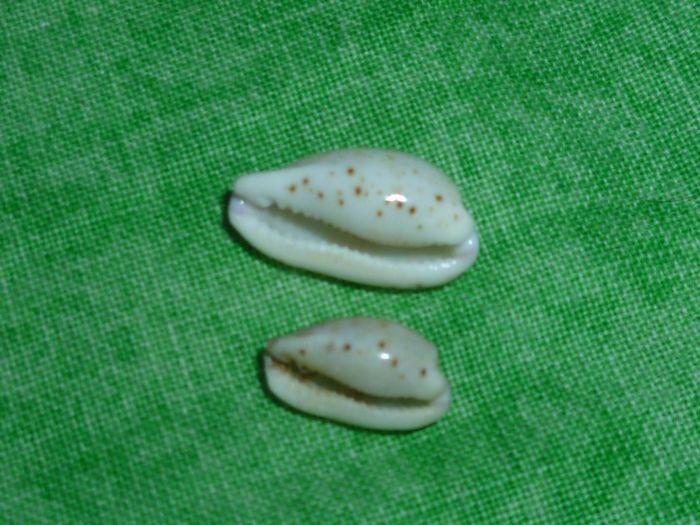 Purpuradusta hammondae hammondae - (Iredale, 1939) P1070131