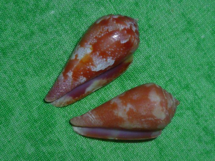 Conus (Rhizoconus) pertusus elodieallaryae  Cossignani, 2013 P1070268