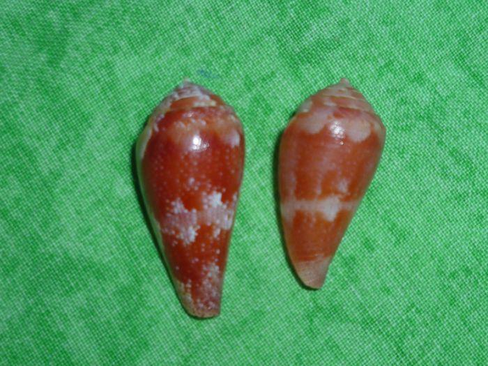 Conus (Rhizoconus) pertusus elodieallaryae  Cossignani, 2013 P1070269