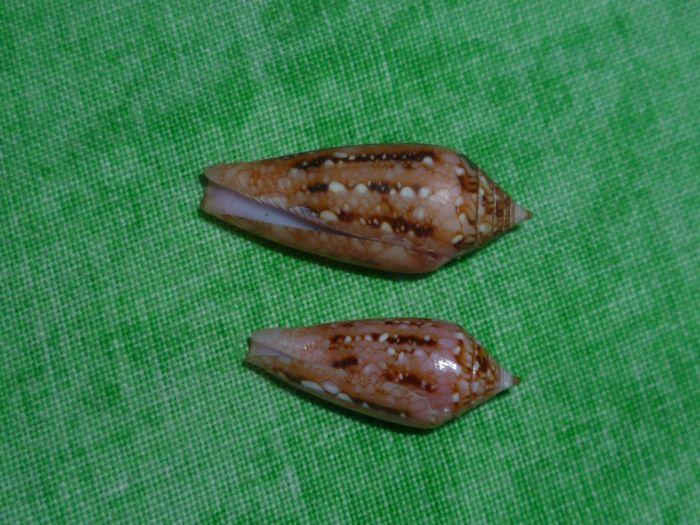 Conus (Cylinder) legatus   Lamarck, 1810 P1070524