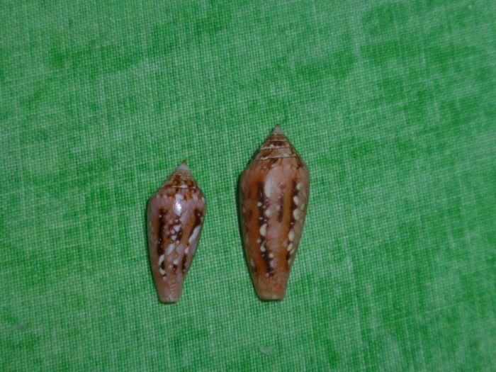 Conus (Cylinder) legatus   Lamarck, 1810 P1070525