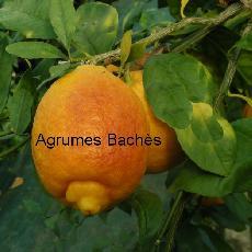 citronnier - Page 2 Citrus11