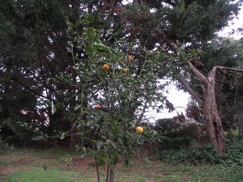 citronnier Pict0110