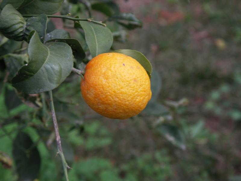 citronnier Pict0111