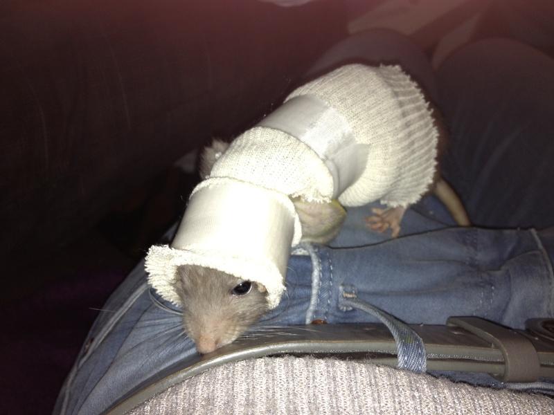 Le rat saucisson - Protéger une plaie après opération - Page 7 Photo10