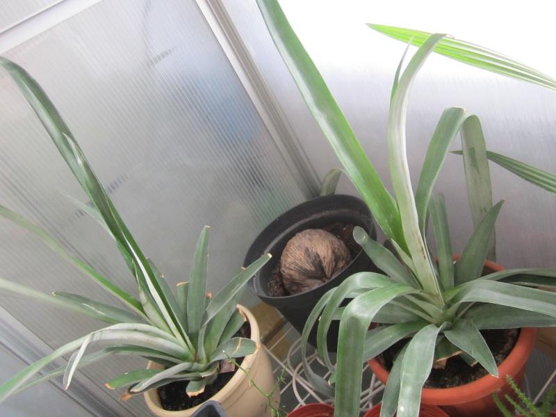 [bromeliaceae]  ananas - Page 2 Img_0214