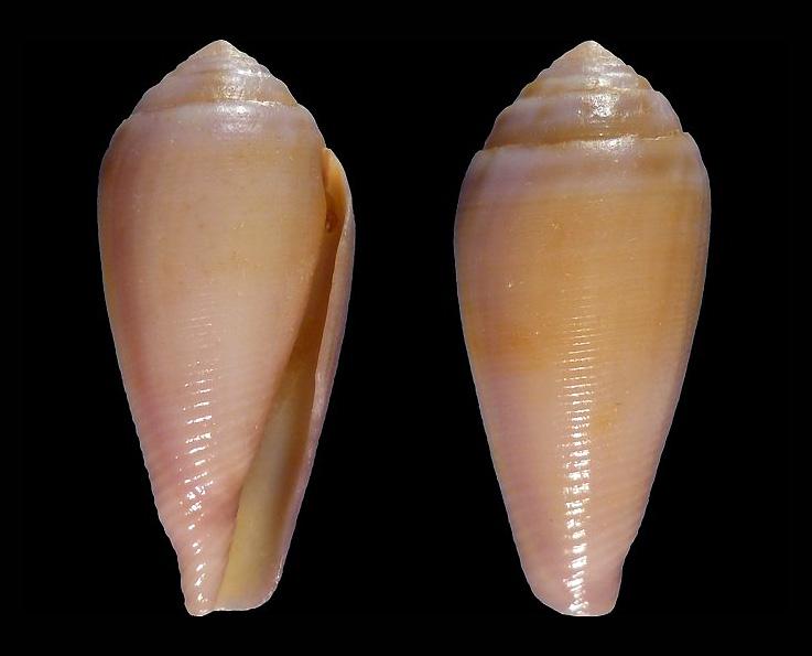 Conus (Leporiconus) tenuistriatus  GB Sowerby II, 1858 910910