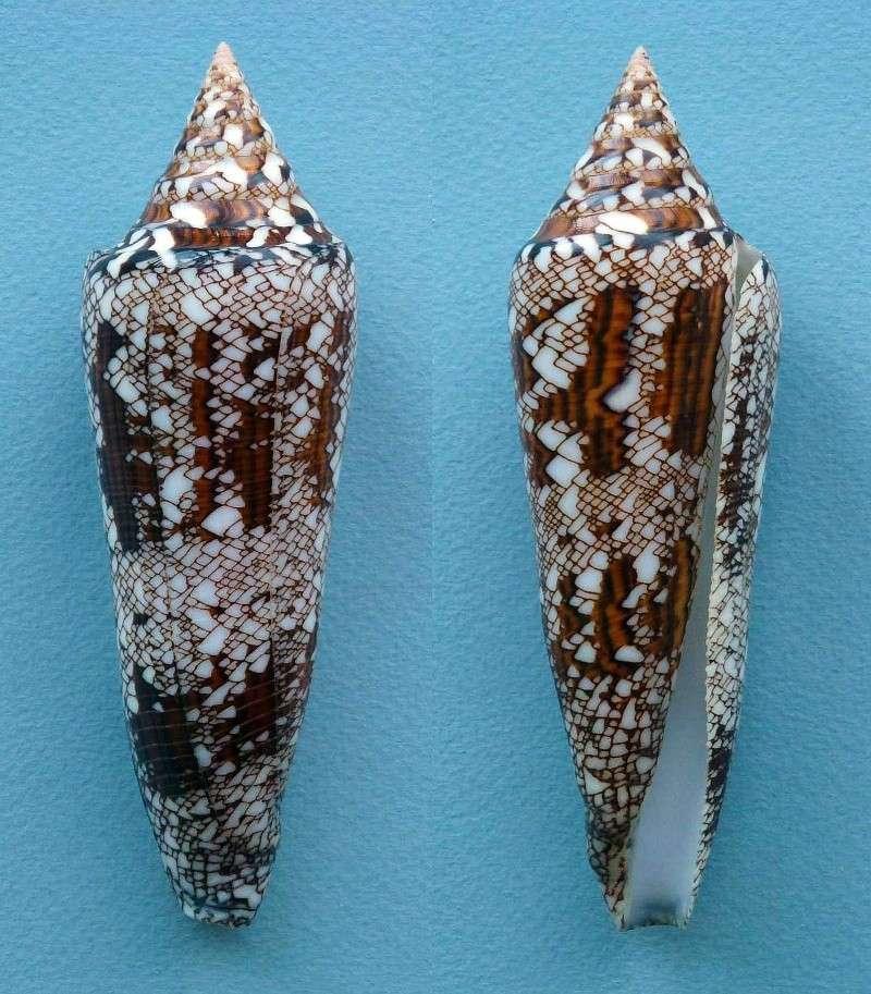 Conus (Cylinder) bengalensis   Okutani, 1968 Bengal10