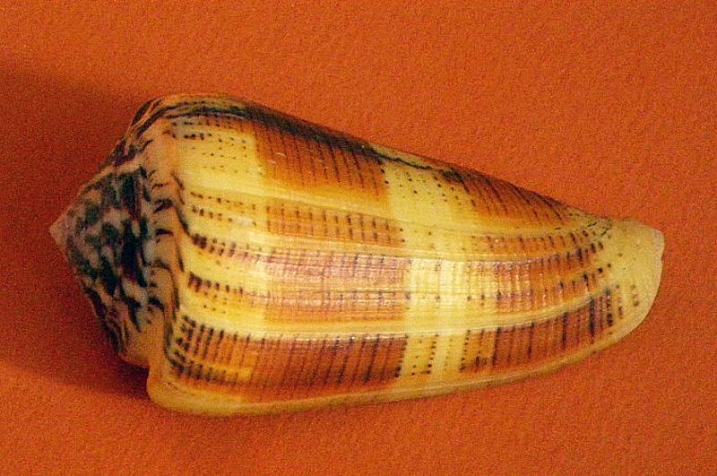 Conus (Pionoconus) circae (Sowerby ll, 1858) voir Conus (Pionoconus) magus - Page 2 Imgp4110